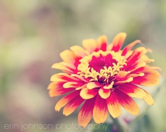 flower photography, red home decor, yellow home decor, nature photography, zinnia, floral wall art, living room decor, bedroom art