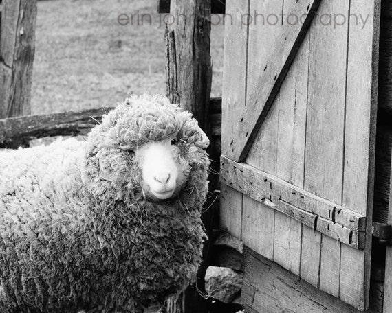 farm animal photography nursery fine art sheep photograph rustic wall art rustic home decor Feeling Sheepish II