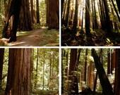 4- Redwood trees-  5 x 5 photographs. A summer walk in a quiet grove.