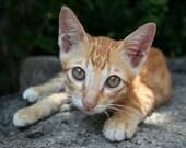 Photo print - Small red Thai kitten