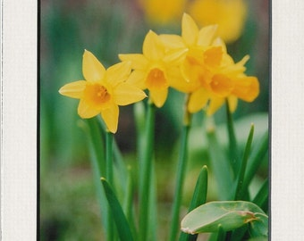 669 5x7 Matted Art Daffodil Think Spring
