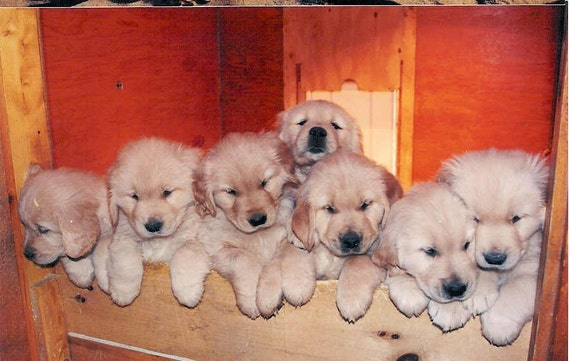 486 Golden Retriever Puppies - Pick Me 5x7 Greeting Card Photography Photo