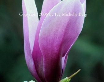 Magenta Japanese Magnolia Blossom, Photo Print