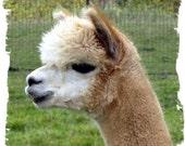 Beige Alpaca Fleece - Unwashed - Rhodey - 8 ounces