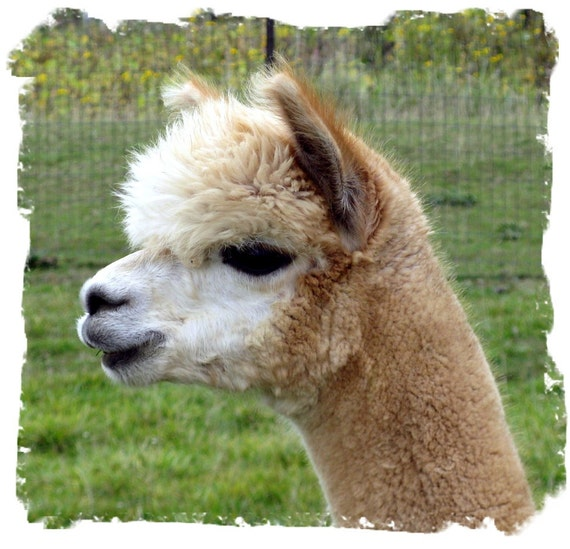 Beige Alpaca Fleece - Rhodey - 8 ounces