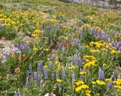 Wildflowers Blanket the Earth, Logan Pass, Glacier National Park, Montana Landscape, Greeting Card or Photograph