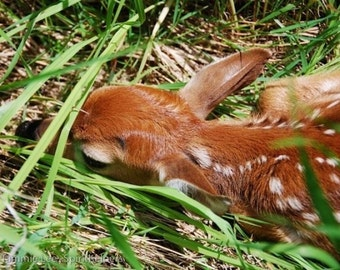 Young Fawn, Baby Deer, Forest Animal, Tiny animal, Children's art, Photograph or Greeting Card