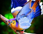 Feathers and Fancy - colorful bird photography - wings dove - nature - decorative print