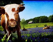 Curiosity Becomes Him - Texas Photography - Calf in Bluebonnets - Cute Animal - Blue Spring Wildflowers