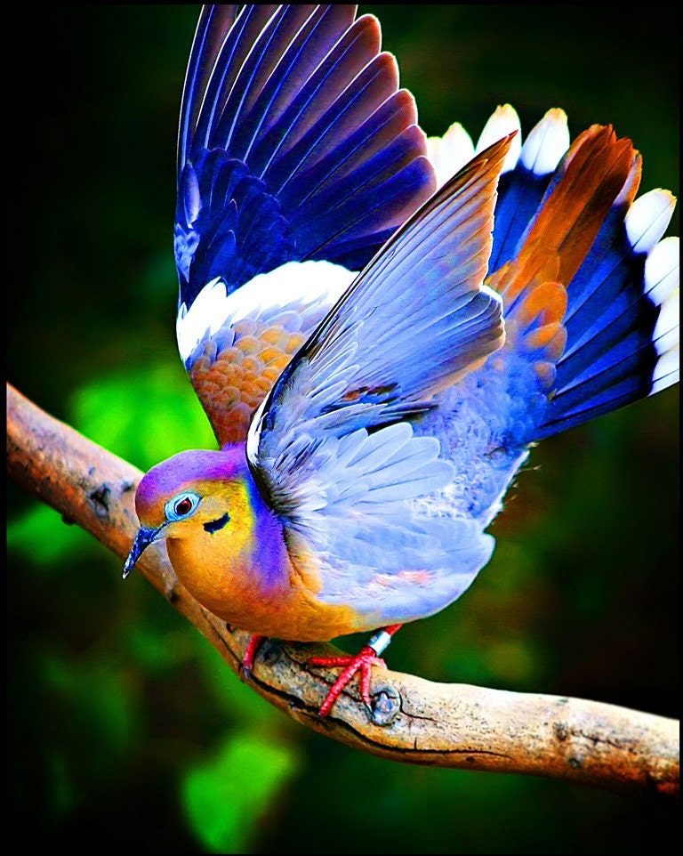 Feathers and Fancy colorful bird photography wings dove