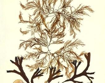Seaweed art, MADE TO ORDER, seaweed artwork, seaweed pressing, ocean art, Seaweed pressing, beach cottage decor, victorian botanical, 11x14