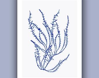 Seaweed Print in blue, Chondria Ocean Algae, Pressed seaweed collage,  Original Print  Botanical Art, Algae Pressing, Seaweed art