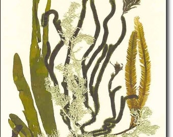 Natural sea fan collage, MADE TO ORDER,  Original seaweed artwork, seaweed pressing,seaweed art, seaweeds victorian art, beach cottage decor