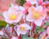 "8x10"" Hello Hellebores - photo decor artwork art fine print floral botanical garden vintage"
