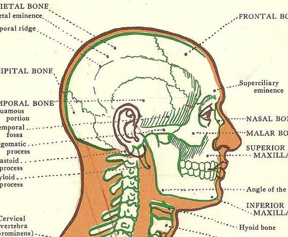 Side View Anatomy Anatomy Print Side View