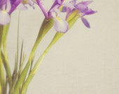 Floral Fine Art Photograph, Dainty Purple Irises in a Blue Vase, Wall Art, Home Decor, Feminine, Pretty, Soft Tones, Gardener, 4x6 Print