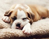 Fine Art Photograph, Sleeping Boxer Puppy Dog, Fawn, Brown Tones, Animal Lover, Cuteness, Puppy Love, Cozy, Pet Portrait, 4x6 Photo