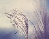 Fine Art Photograph, Feather Grass Photo, Winter, Serene, Blue, Breeze, Wind, Nature Art, Soft, Hazy, Wall Art, Home Decor,  8x10 Print