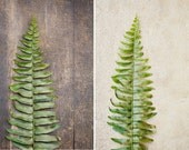 Botanical Fine Art Photograph, Boston Green Fern Leaves on Brown Wood and Cream Concrete, Nature Art, Sage, House Plant, Two (2) 4x6 Prints