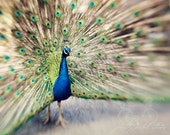 Abstract Fine Art Photograph, Peacock Photo, Feathers, Colorful, Sapphire Blue, Green, Bird Lover, Wall Art, Home Decor, Fancy,  8x10 Print