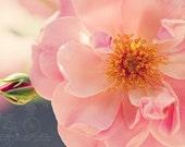 Shabby Chic Fine Art Photograph, Romantic Pink Rose Bloom, Flowers, Pale Pastel Tones, Home Decor, Wall Art, Pretty,  4x6 Print
