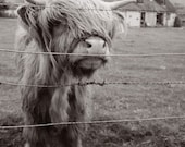 Hairy Cow - blank photo greeting card of cute scottish highland cattle