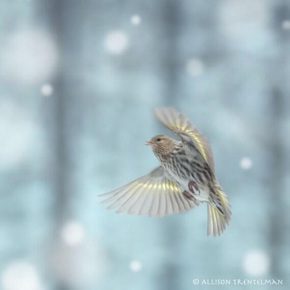 Pine Siskin in Snow, Fine Art Bird Photography Print