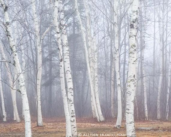 Birch Trees in Fog No. 1 - 8x10 fine art landscape photography print