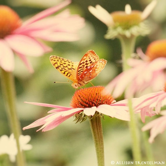 SALE - 20 percent off - Butterfly Garden No. 2 - fine art photography print of orange butterfly and echinacea flowers