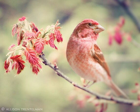 Purple Finch No. 1 - fine art bird photography print of little red bird on branch