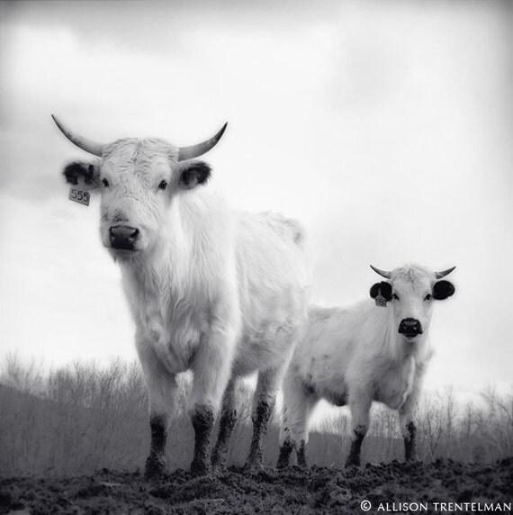 "SALE - 7x7 Farm Animal Art Print - Cow Art - Black and White Cow Photograph - Fine Art Photography Print - Cow Art Print ""White Park Cattle"""