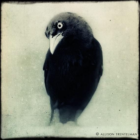 Grackle No. 1 - fine art black and white bird photography print