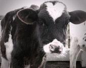 Animal photography, Calf photo, Farm photography, Rustic, Farm wall art, Heart Shape, Farm animal, Cows, Holstein, 8x10, 11x14, 16x20