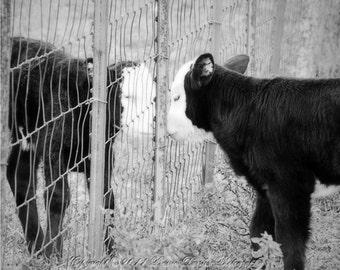 Animal photography, Calf photo, Farm photography, Rustic, Farm wall art, Farm animal photo, Cows, Black and white, 8x10, 11x14, 16x20