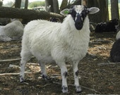 Fleece 3 lbs 6 oz SBF ewe lamb (Dip) finely skirted wool fleece (Scottish Blackface)