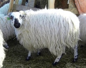 RESERVED - Fleece 3 lbs SBF adult ewe (Seraut) - lightly skirted white wool fleece (Scottish Blackface)