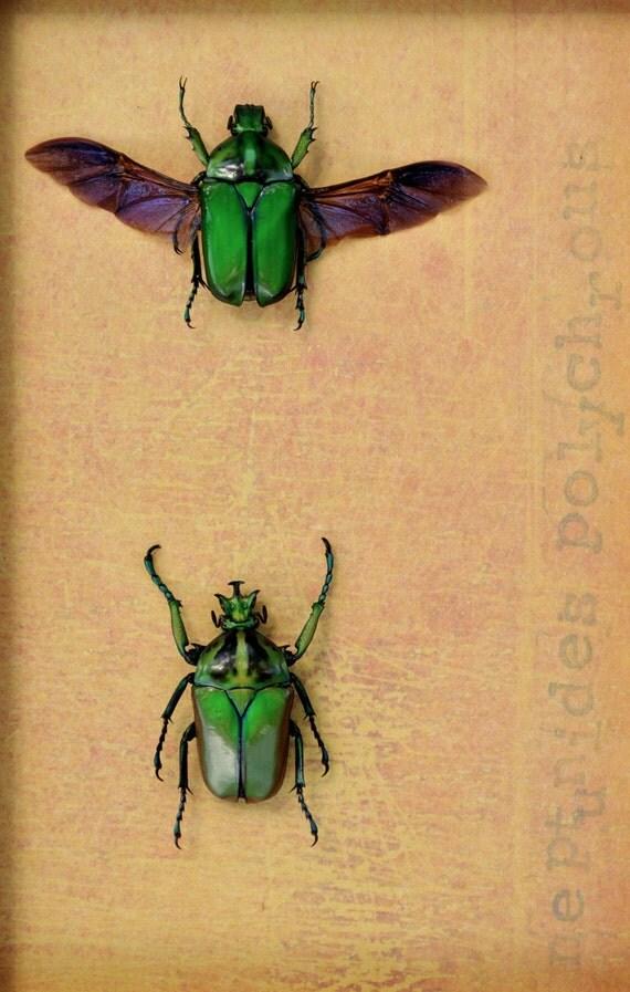 African Flower Beetles Framed Insect Art Display  OOAK