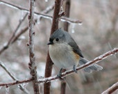 Winter Titmouse 5x7 matter print