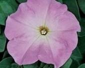 10 Petunia Plants Madness Lilac