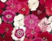10 Dianthus Plants Telstar Mix