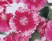 10 Dianthus Plants Floral Lace Rose