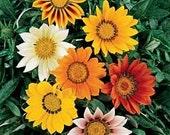 10 Gazania Daybreak Mix Plants