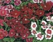 10 Dianthus Plants Floral Lace Mix