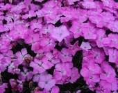 10 Floral Lace Purple  Dianthus