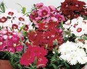 10 Dianthus Plants Diana Mix