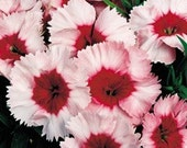 10 Dianthus Plants Strawberry Parfait