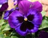 Purple Majic