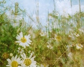daybreak daisies: nature photography summer flower dreamy photo fine art photography daisies botanical art boho home decor multiple exposure