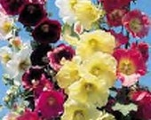Hollyhock old fashioned flower seeds