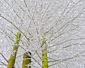 flocked winter snow on three trees fine art photography . 8 x 10 print